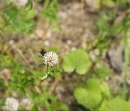 Bumblebee karmienie na kwiacie Obrazy Stock