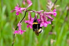 bumblebee kwiat Fotografia Royalty Free