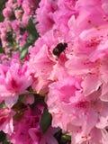 Bumblebee kwiat Fotografia Stock