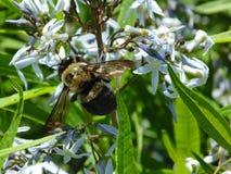 bumblebee kwiat samopylnego Obraz Royalty Free