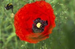 Bumblebee landing. A bumblebee landing on a red flower stock photo