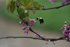 Bumblebee landing on Redbud Blooms. A colorful bumblebee landing on redbud Blooms Stock Photos