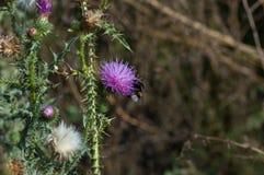 Bumblebee lata blisko kłującego purpura kwiatu Fotografia Stock
