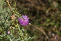 Bumblebee lata blisko kłującego purpura kwiatu Zdjęcie Royalty Free