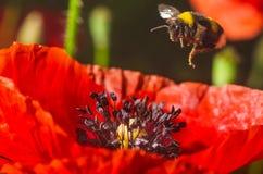 Bumblebee lata kwiat czerwony maczek zbierać pollen Zdjęcie Royalty Free