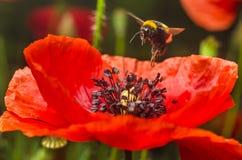 Bumblebee lata kwiat czerwony maczek zbierać pollen Fotografia Royalty Free
