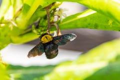Bumblebee latanie kwitnąć cyzelatorstwo nektar obrazy stock