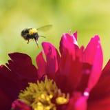Bumblebee latanie na różowej peoni Obraz Royalty Free