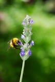 bumblebee lavender λουλουδιών Στοκ Εικόνα