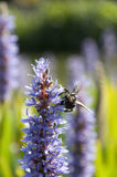 Bumblebee and Lavender. In Austin, Texas Royalty Free Stock Photography
