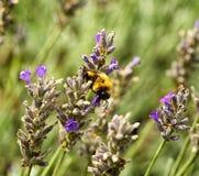 Bumblebee on lavender Stock Image