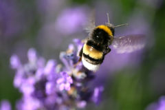 Bumblebee and lavender Stock Images