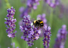 Bumblebee on lavender Royalty Free Stock Photos