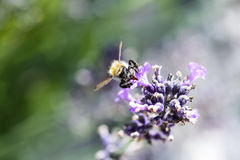 Bumblebee lavender Στοκ εικόνες με δικαίωμα ελεύθερης χρήσης