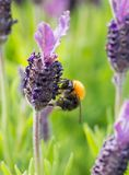 Bumblebee on lavender blossom in detail Royalty Free Stock Photo