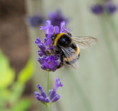 Bumblebee on Lavender Stock Photo