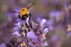 Bumblebee in lavender Royalty Free Stock Images