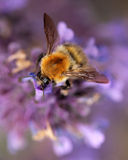 Bumblebee in lavender Royalty Free Stock Photos
