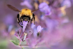 Bumblebee in lavender Royalty Free Stock Image