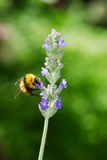 Bumblebee on a lavender flower Stock Image