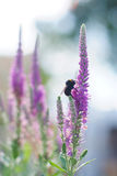 Bumblebee on lavender flower background Royalty Free Stock Images