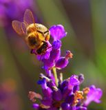 Bumblebee on lavender flower Royalty Free Stock Photos