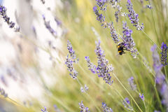 Bumblebee on a lavender flower horizontal close-up landscape. – Beautiful Royalty Free Stock Photos