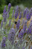 Bumblebee on lavender Stock Images