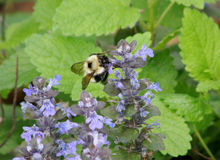 Bumblebee on lavender flowers royalty free stock photography