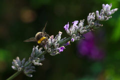 Bumblebee on Lavender Stock Image