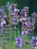 Bumblebee on lavender Stock Photo