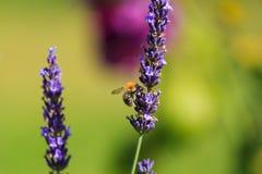 Bumblebee on Lavender Stock Photos