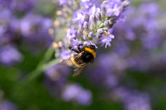 Bumblebee on Lavender Royalty Free Stock Photography
