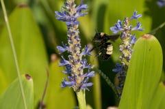 bumblebee lawenda Obrazy Stock