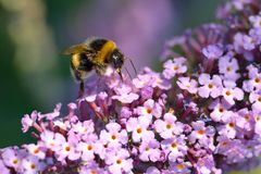 Bumblebee on Lilac royalty free stock photos