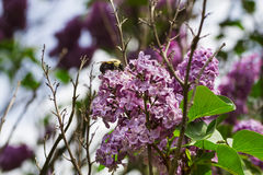 Bumblebee in a lilac Royalty Free Stock Image