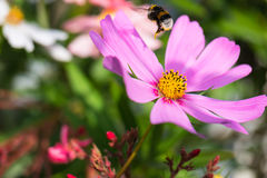 Bumblebee loaded with pollen in flight above pink flower Royalty Free Stock Image