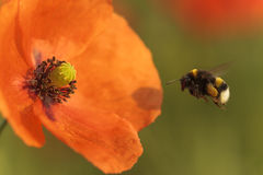 Bumblebee. Looking for nectar in flowers Stock Photo