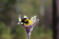 Bumblebee looking for nectar. In the forest Stock Photos