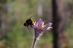 Bumblebee looking for nectar. In the forest Stock Photography