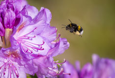 Bumblebee looking for nectar Royalty Free Stock Photography