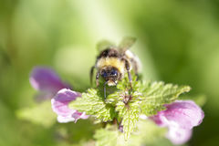 Bumblebee looking for pollen in nettle flowers Royalty Free Stock Photos