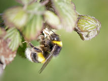 Bumblebee looking for pollen Stock Photography