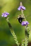 bumblebee lota złoty północny Obraz Stock