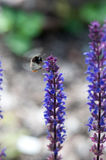 Bumblebee On Lupine Stock Photography