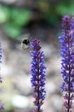 Bumblebee On Lupine. Flying bumblebee on lupine flower Stock Photography