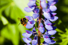 Bumblebee on lupins Royalty Free Stock Photography