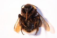 Bumblebee lying on its back. royalty free stock images