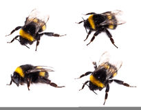 Bumblebee macro view isolated Stock Image