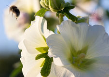 Bumblebee and mallow flower on a sunny day. Flying Bumblebee and mallow flower on a sunny day Royalty Free Stock Photos